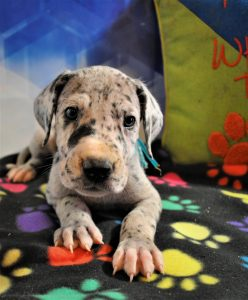 Photos of Available puppies   Great Danes of Burns