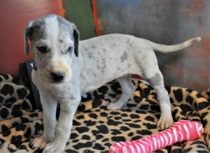 Photos of Available puppies | Great Danes of Burns